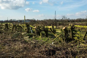 Trees felled for the Foxdenton development managed by Oldham Council as part of Foxdenton LLP